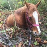 Wyant Road horse in bog